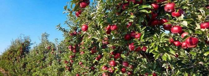 Карликовые сорта яблони для подмосковья: фото и описание, а также отзывы о них