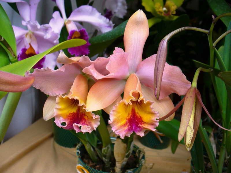 Орхидея каттлея в горшке: характеристика и размножение