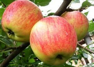 Сорт яблок «флорина»: характеристика, достоинства и недостатки