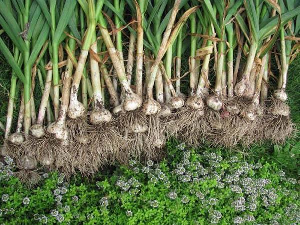 Посадка чеснока весной в открытый грунт: сроки, как правильно сажать (фото)
