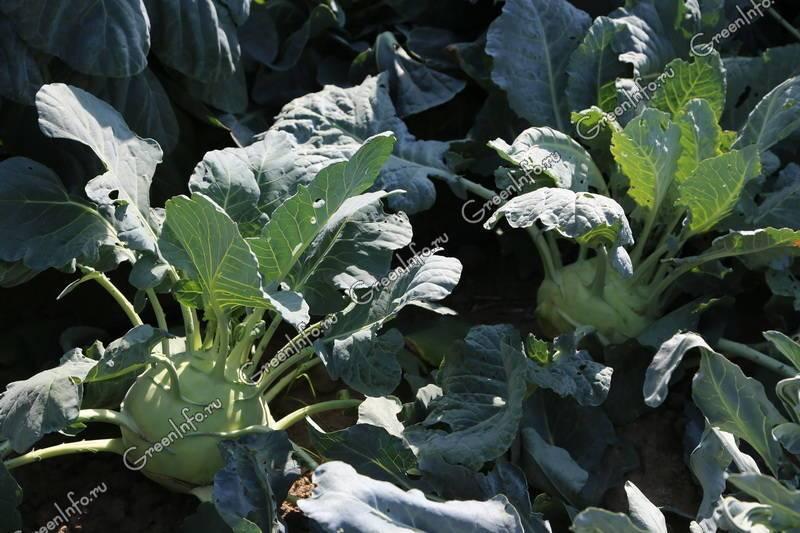 Капуста кольраби как выращивать | вырасти сад!