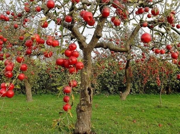 Как и когда посадить яблоню осенью