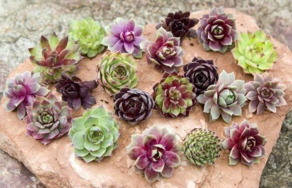 Молодило или каменная роза: фото растения и особенности выращивания