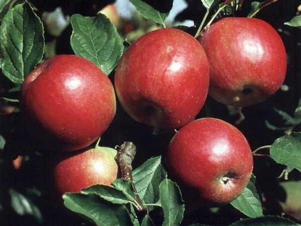 Характеристика сорта яблони айдаред