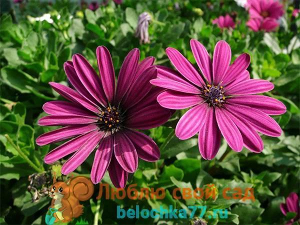 Капская маргаритка или остеоспермум: посадка и уход в открытом грунте, фото оригинального цветка, подготовка семян и правила агротехники