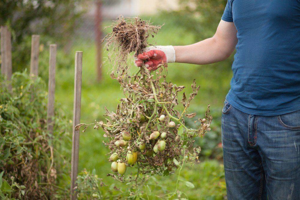 Схема высадки рассады помидоров в грунт: расстояние между кустами и рядами