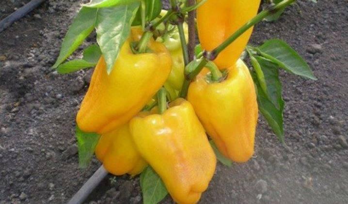 Желтый перец: обзор сортов с описанием и фото
