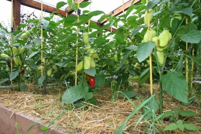 Чем подкормить перцы в теплице для высокого урожая
