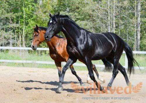 Какие бывают лошади: породистые кони в российском коневодстве, особенности вывода пород и мастей
