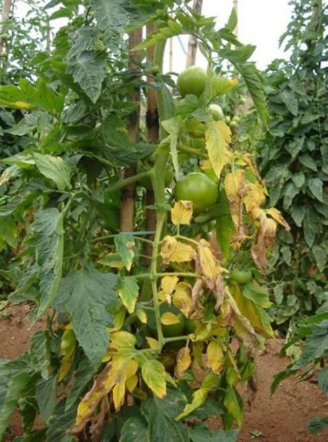 Фузариозное увядание томатов: признаки, лечение и профилактика