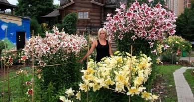 Лилии от-гибриды: описание сорта, посадка и советы по уходу - sadovnikam.ru