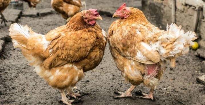 Как вылечить глистов у кур?