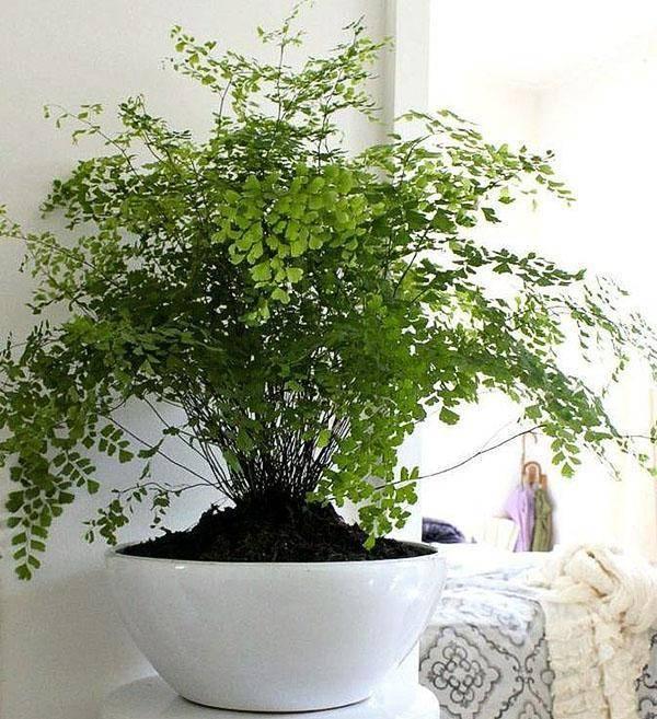 Комнатный кудрявый папоротник: фото с описанием, уход, выращивание - sadovnikam.ru