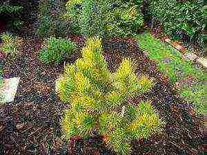 Сосна горная (pinus mugo): описание, виды и сорта, посадка и уход, размножение