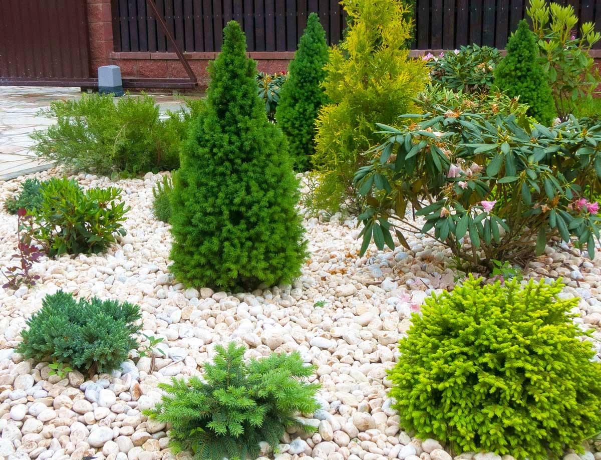 Хвойные растения для сада, виды и уход - фото примеров