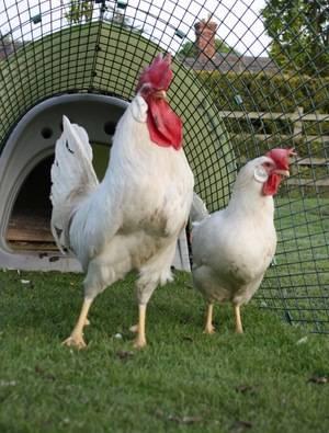 Леггорн порода кур – описание, содержание, фото и видео
