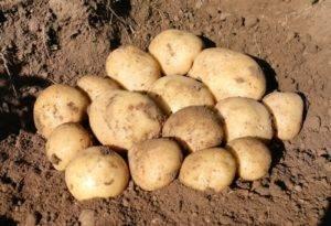 Описание картофеля Кемеровчанин