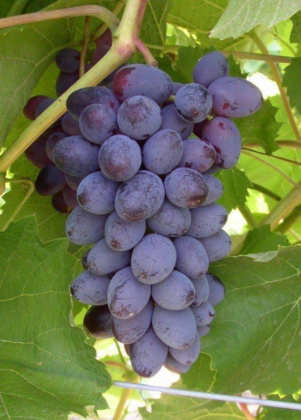 Как вырастить виноград сорта шахтёр