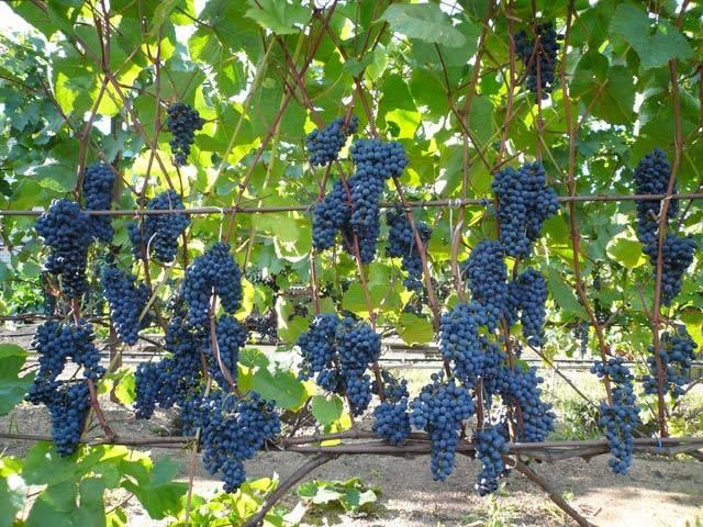 Неукрывные сорта винограда - краткая характеристика и особенности