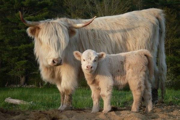 Высокогорная шотландская корова хайленд, фото быка, теленка, мини скот
