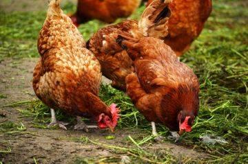Как вывести пероедов у кур?