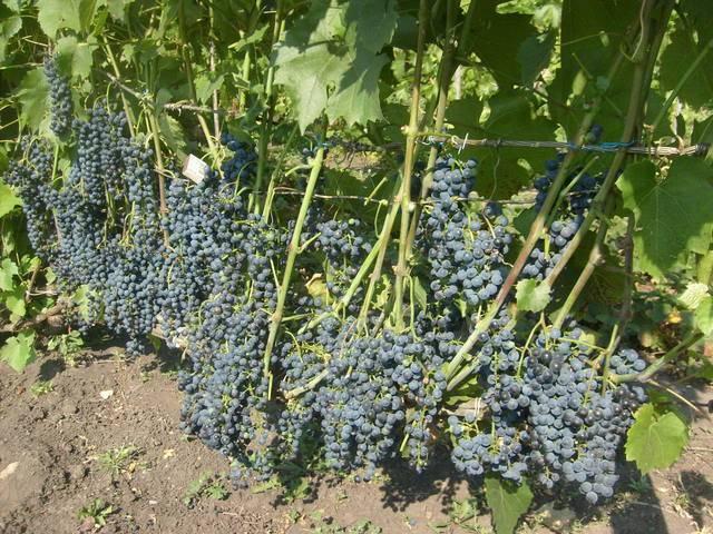 Как выращивать виноград Северный плечистик