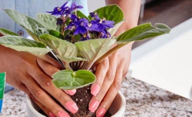 Можно ли пересаживать цветущую фиалку: как посадить в новый горшок во время цветения весной или в другое время года?