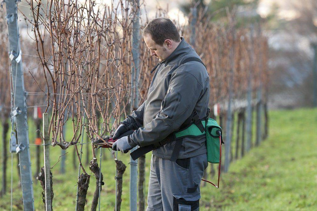 Как правильно подготовить виноград к зиме - удобрить, обрезать и укрыть