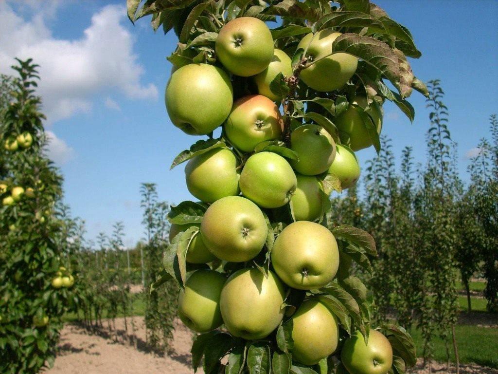 Колоновидная яблоня арбат, фото и описание сорта, посадка и уход, отзывы