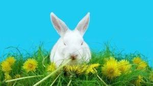 Можно ли кормить кроликов одуванчиками