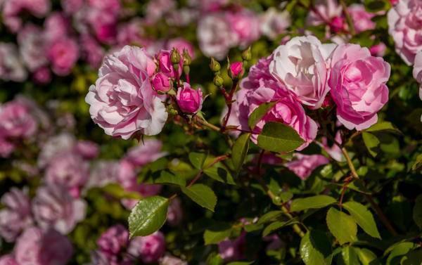 Розы, цветущие все лето: описание лучших сортов - sadovnikam.ru