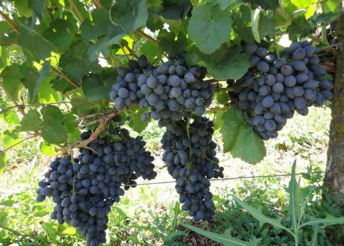 Сорта винограда галия