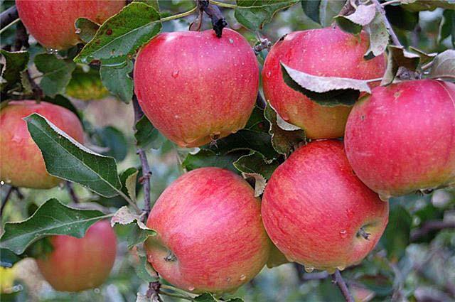 """Сорт яблони """"подарок графскому"""": описание и выращивание"""