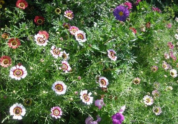 Хризантемы из семян: посадка и уход, фото