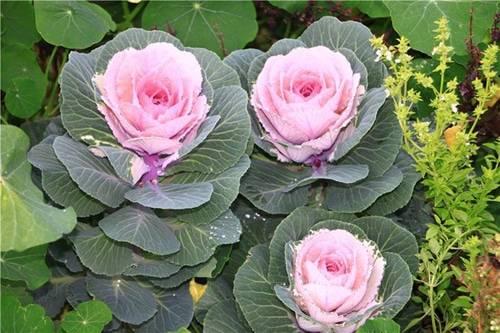 Декоративная капуста: особенности, выращивание в открытом грунте