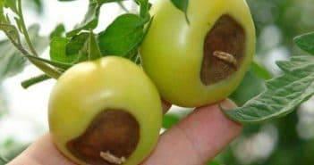 Фитофтора на помидорах – как бороться народными средствами