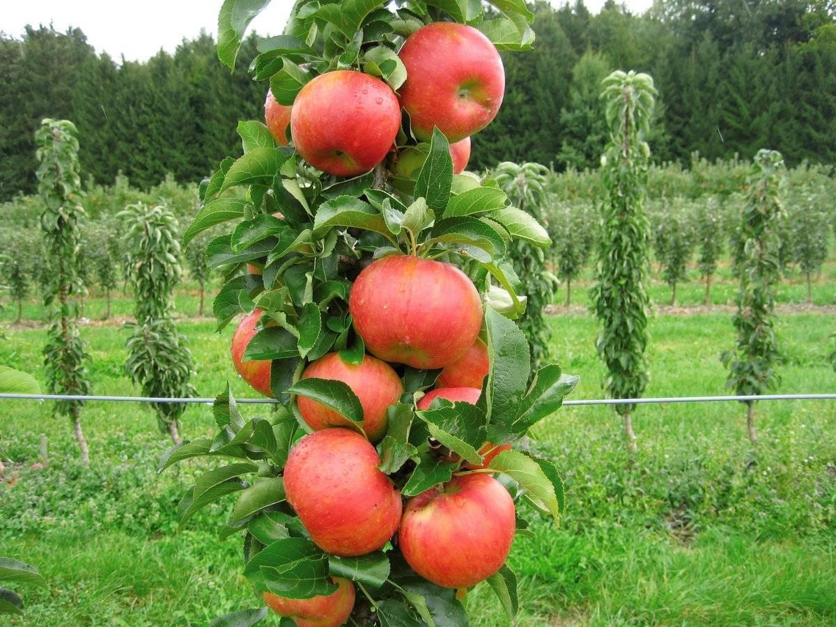 Разновидности колоновидных яблонь для Подмосковья