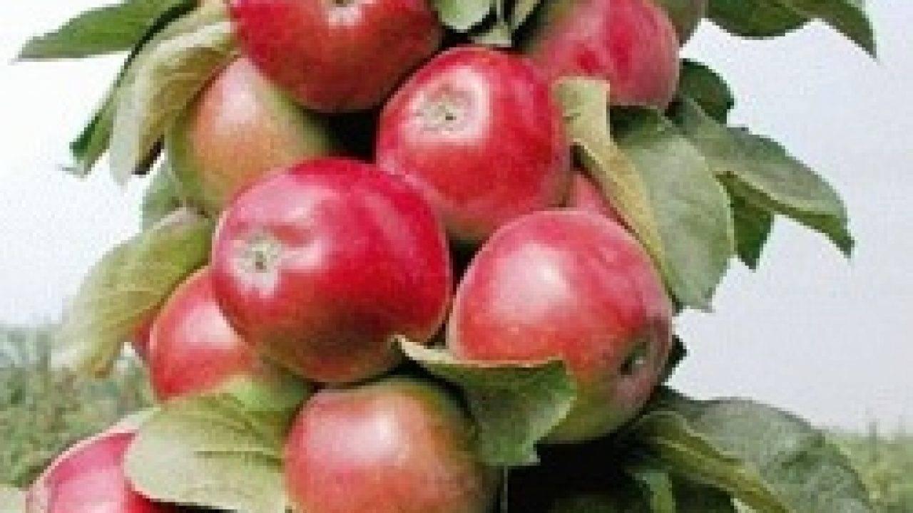 Колоновидная яблоня для ленинградской области: рассказываем во всех подробностях