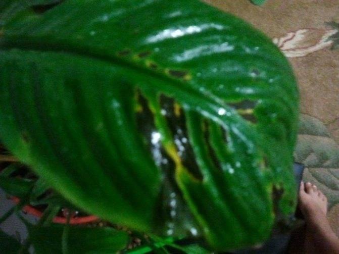 Пятна на листьях спатифиллума коричневого или другого цвета: почему они появляются, что делать для профилактики и лечения, из-за чего растение становится темным? selo.guru — интернет портал о сельском хозяйстве