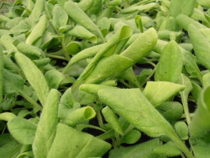 Почему скручиваются листья у капусты, причины и что делать, чем опрыскать