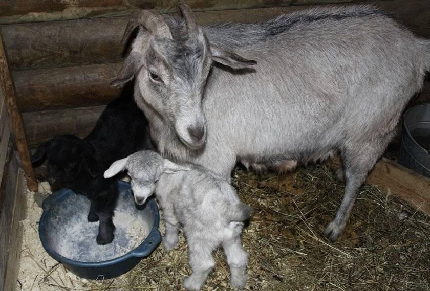 Клички для козлят: лучшие имена - сельская жизнь