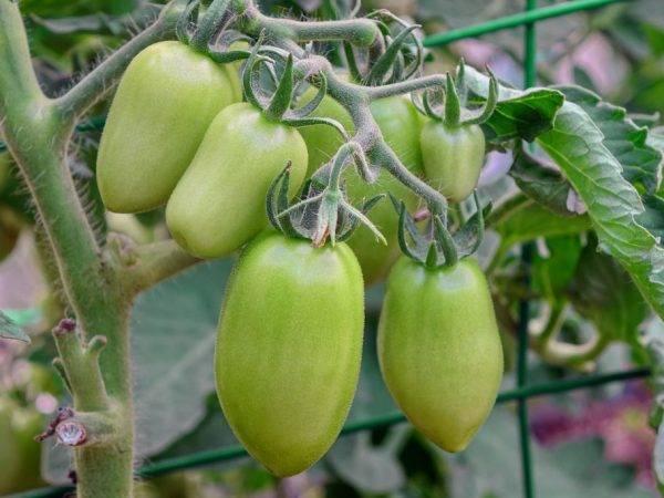 Томат розовая капля: характеристика и описание сорта, отзывы об урожайности помидоров, фото куста