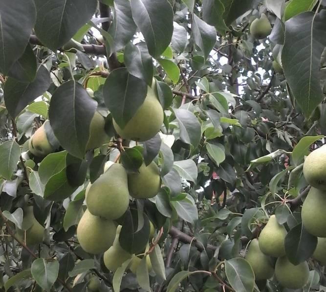 Груша тихий дон: описание сорта, особенности выращивания