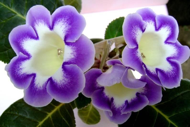 Размножение глоксинии листом, делением клубня, семенами