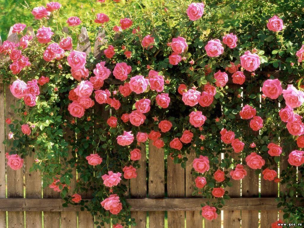 Как правильно делать летнюю обрезку роз