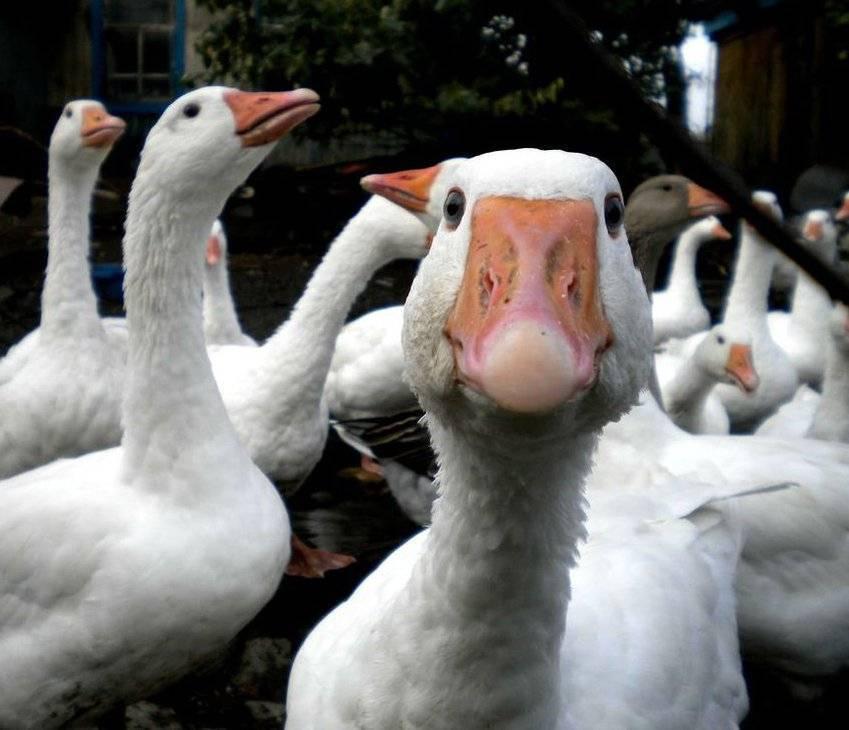 Секреты выращивания гусей на домашнем подворье