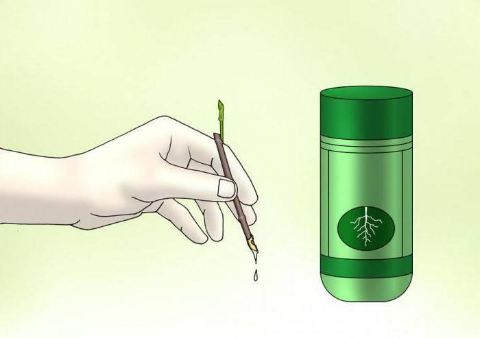 Размножение чубушника: как посадить черенки жасмина садового летом? как размножить делением другого куста?