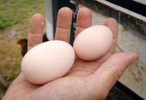 Породы бройлеров: основные характеристики и описание с фото кур лучших бройлерных пород, кормление цыплят