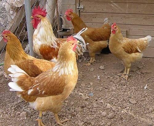 Породы кур - основные породы курей с фото и описанием