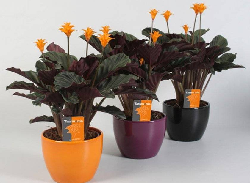 Цветок калатея: виды и сорта, посадка и уход в домашних условиях, фото